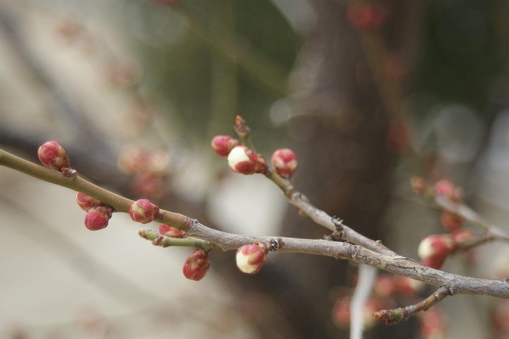 春の日差しで梅のつぼみも大きくなってきました(^-^)
