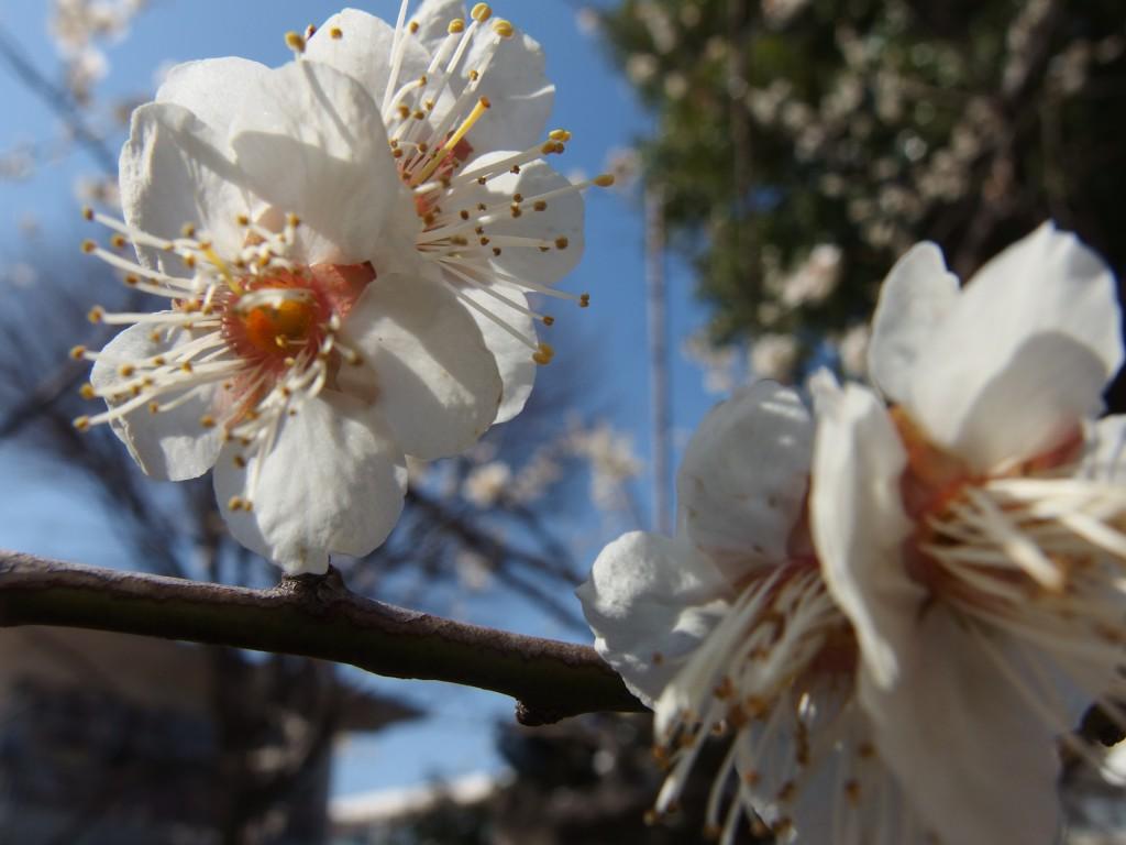 """""""先輩""""の白加賀の花。満開です。"""