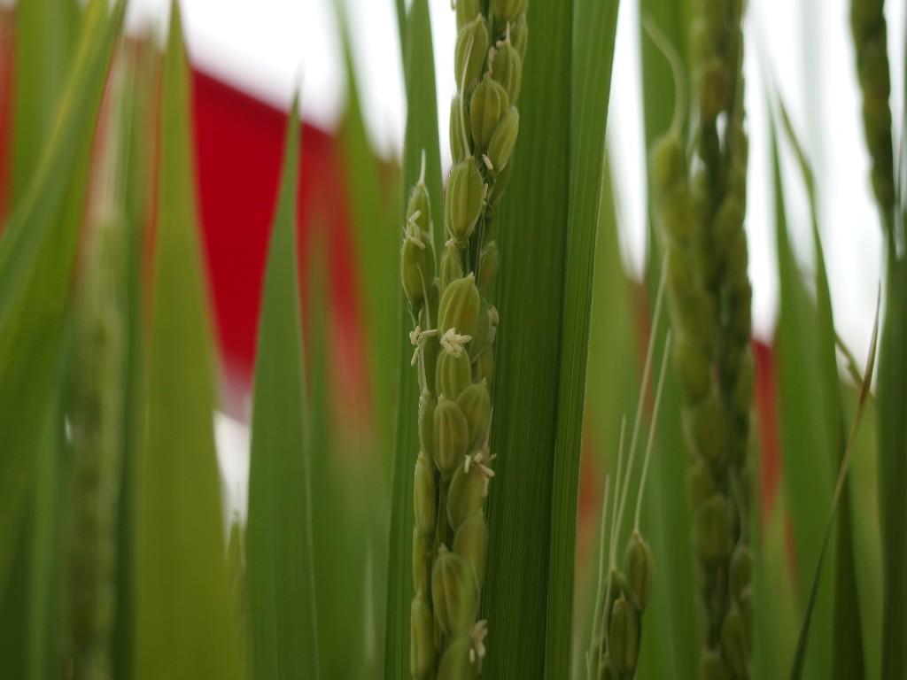 いよいよ咲いた「稲の花」です