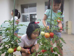 どのトマトが熟してるかな…?