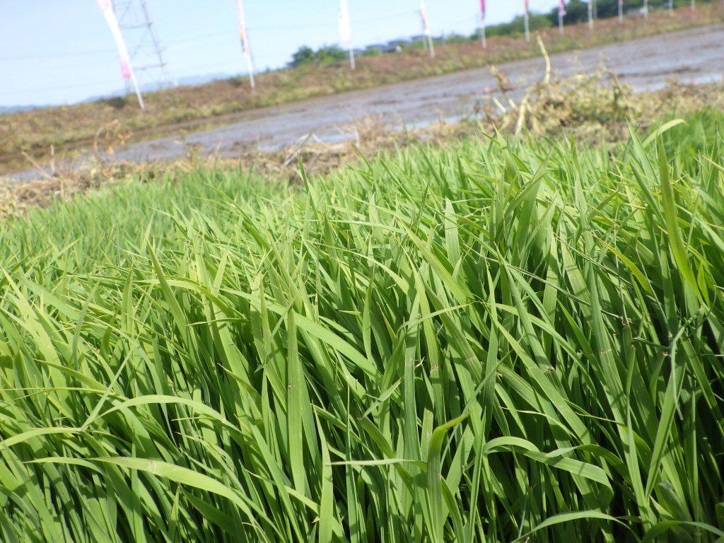 若葉がまぶしいお米の苗