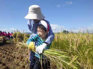 大事に大事に…一生懸命刈った稲を運びました